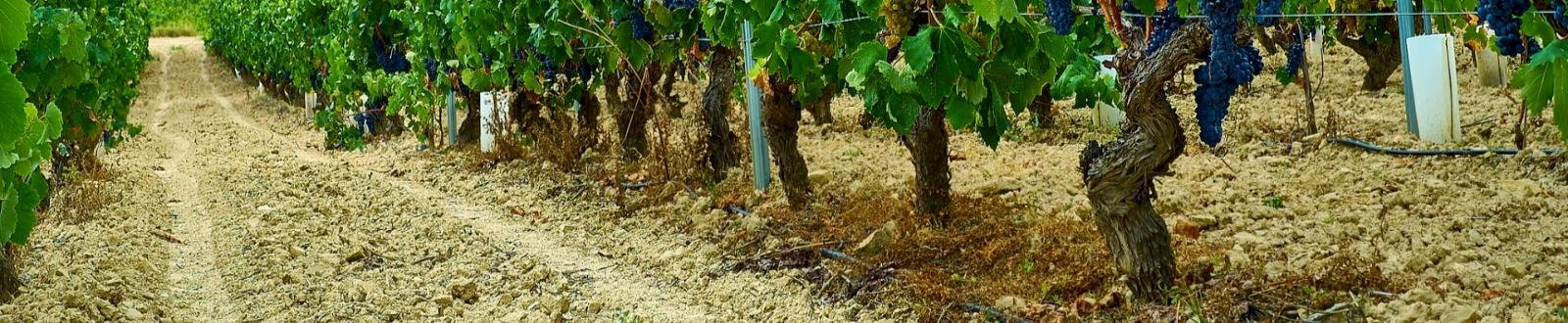Виноградник винное хозяйство Раевское
