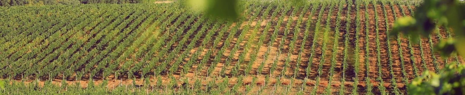 Виноградник Сатера